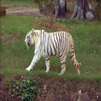 The Nandankanan Zoo: The Home for White Tigers