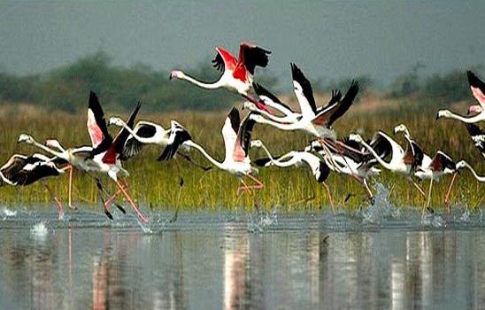 Saurus Cranes