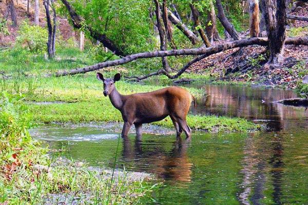 Sambhar Deer in Bandhavgarh National Park