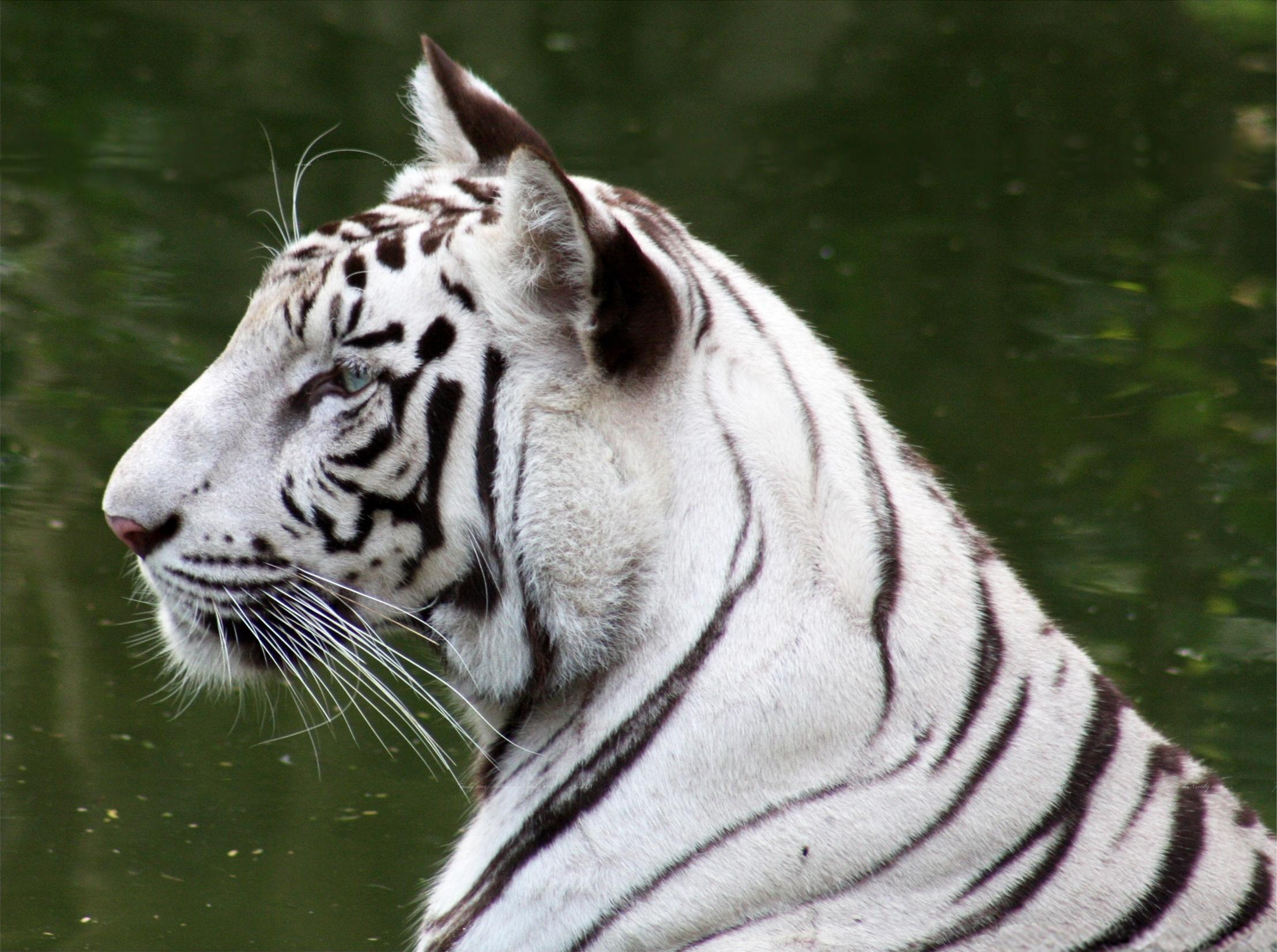 White Tiger of Bandhavgarh