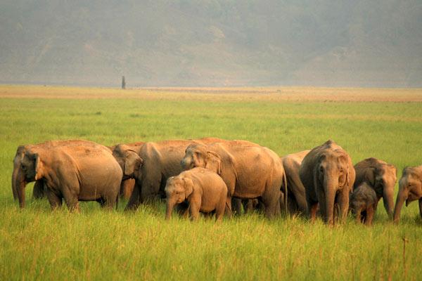 Elephant Herd at Corbett National Park