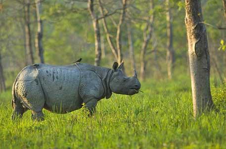 The One Horned Rhinocerous