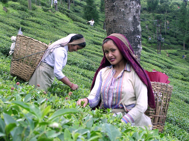 Tea Plucking