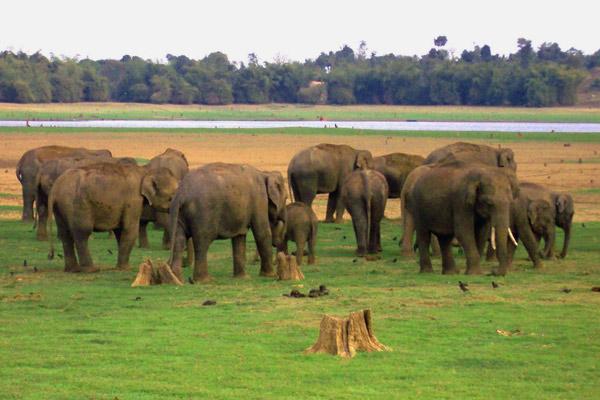 Elephant Herd at Kabini