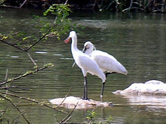 Migratory birds White Ibees