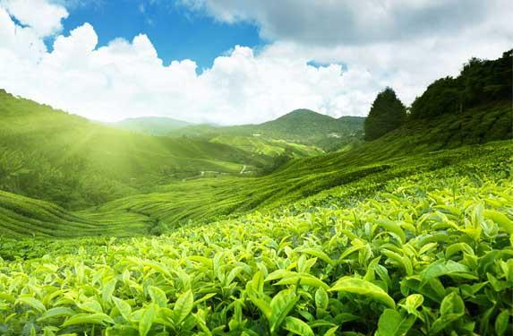 Munnar plantations