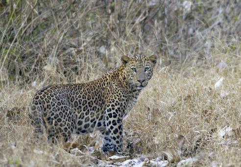 A leopard near the Balle gate