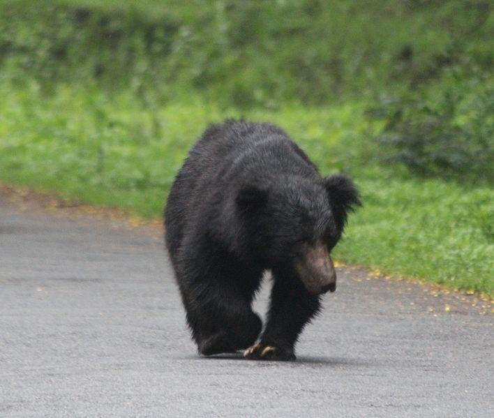 Sloth bear in nagarhole