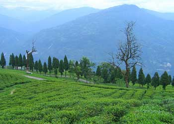 temi tea garden namchi