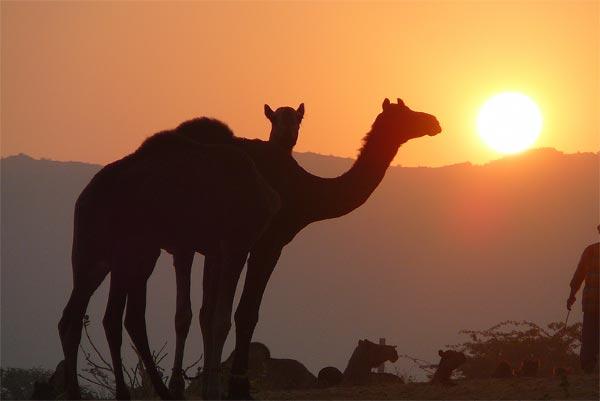 Evening at Pushkar Desert