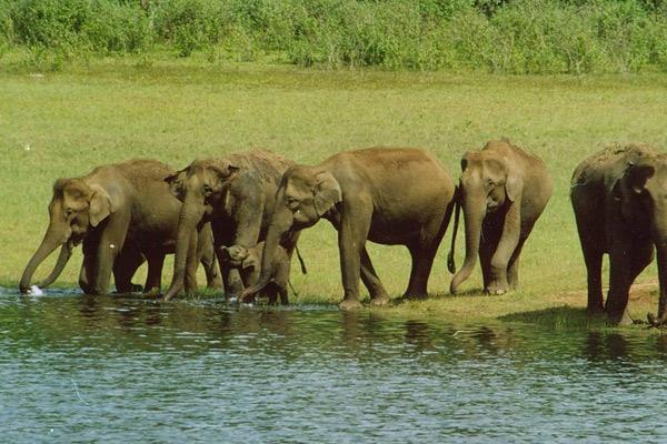 Elephant Herd Periyar National Park