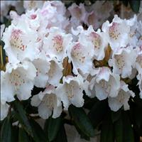 Shingba Rhododendron Sanctuary