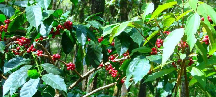 Coffee Estates